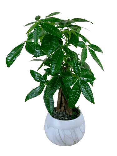 "Good Luck Money Tree:  Money Tree Plant in a ceramic bowl, about 20"" tall"