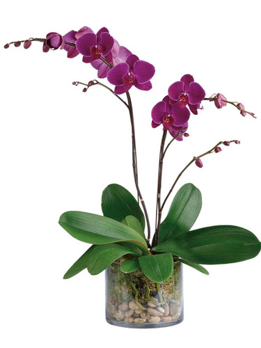 Dramatic Purple Orchid - purple double Phalaenopsis plant in a six-inch clear glass container