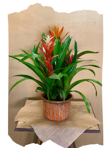 Bromeliad Garden:  trio of flowering bromeliad plants in a ceramic container