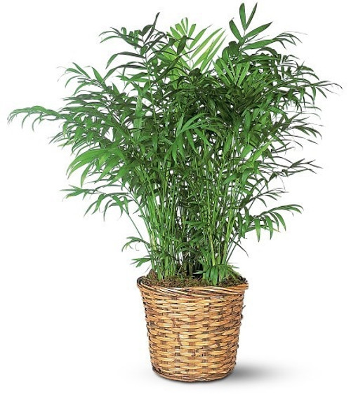 """Parlor Palm:  full, healthy parlor palm plant in a 12"""" woven basket"""