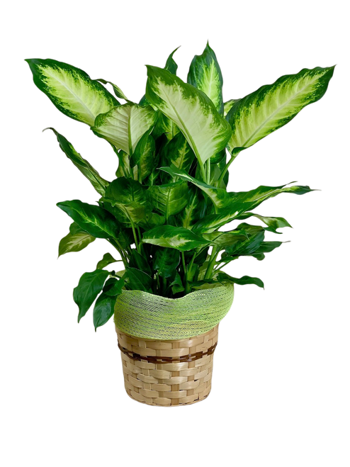 Delightful Diffenbachia:  lush green diffenbachia plant in an 8-inch woven basket