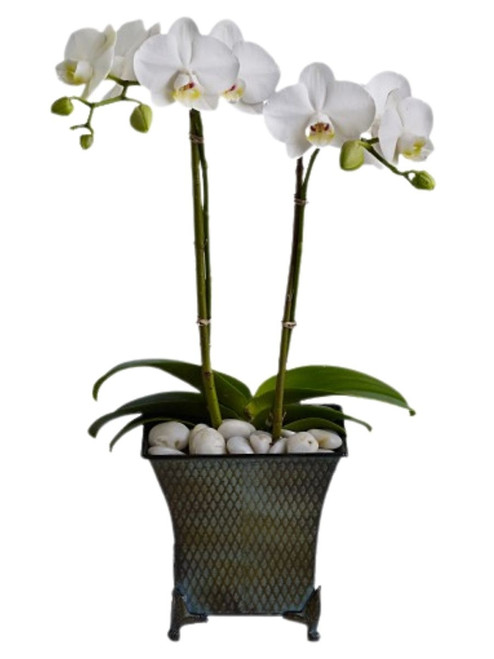 Graceful White Orchid - double white phalaenopsis orchid in a six-inch decorative container