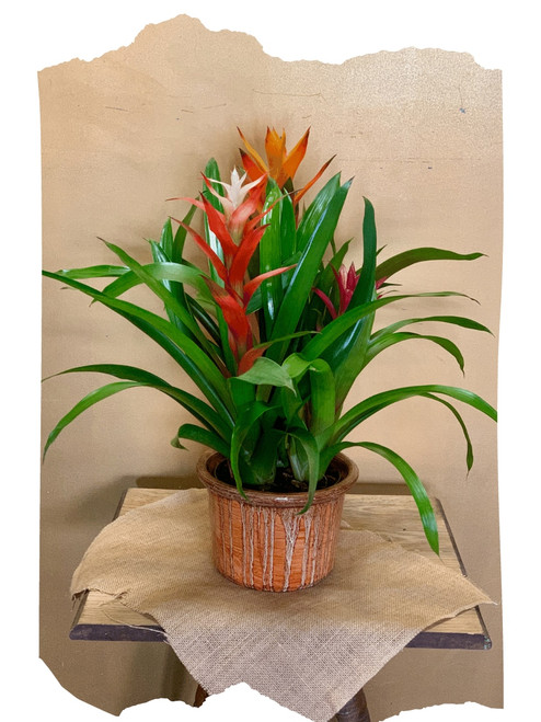 Bromeliad Garden:  trio of flowering bromeliad plants in a ceramic container