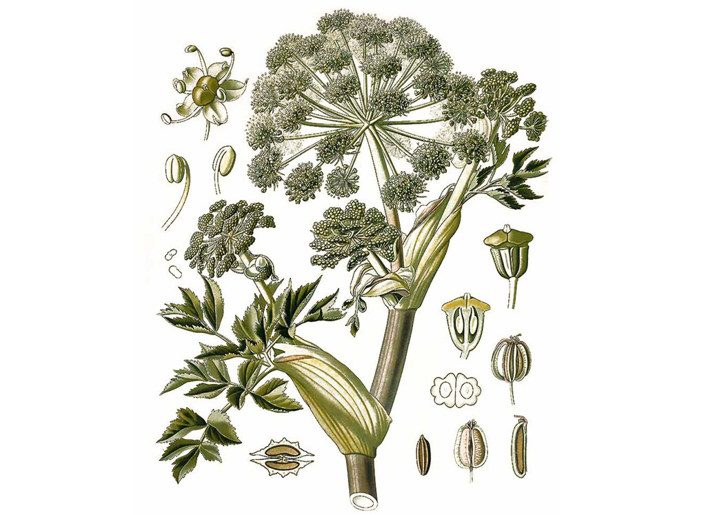 Angelica Seeds