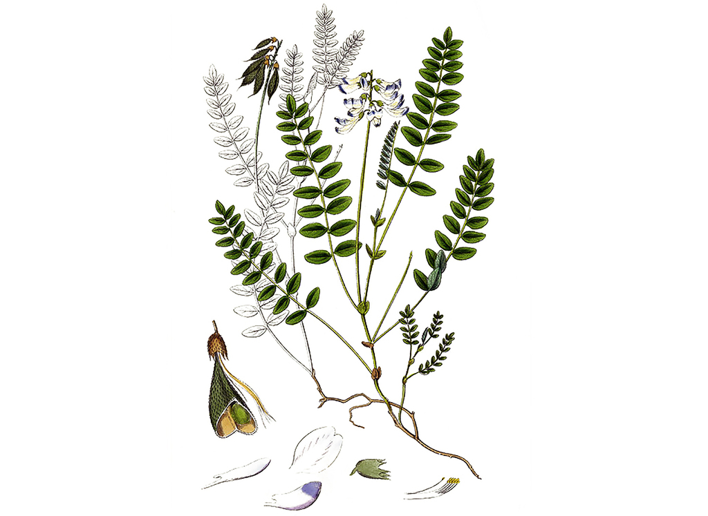 Astragalus Seeds