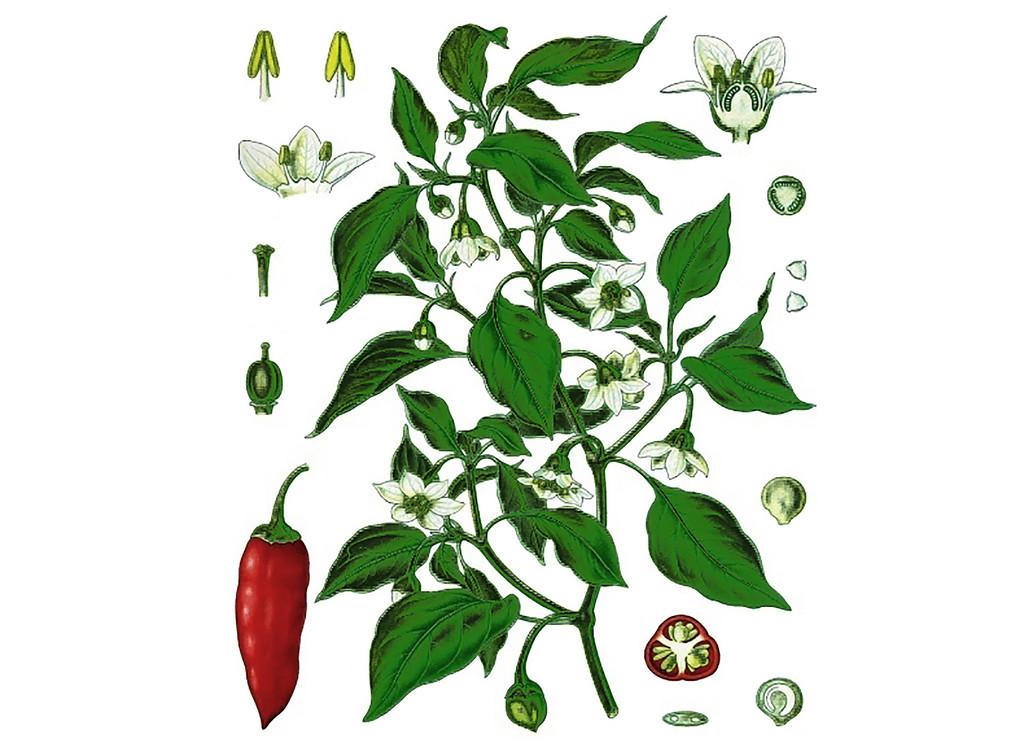 Cayenne Pepper Seeds