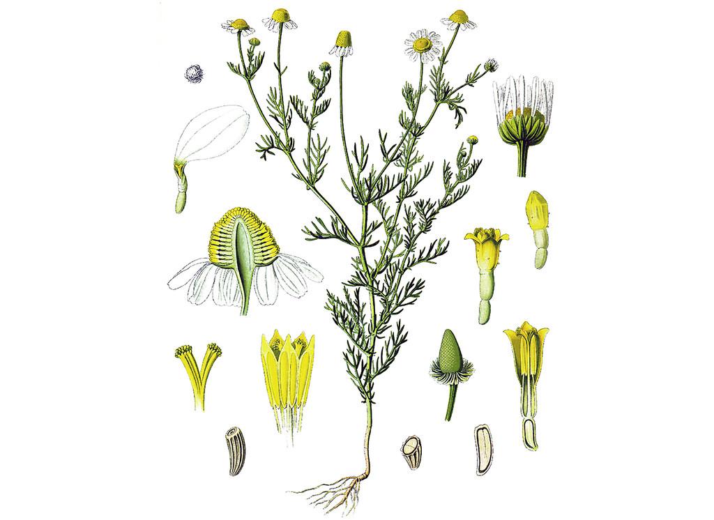 Chamomile, German Seeds