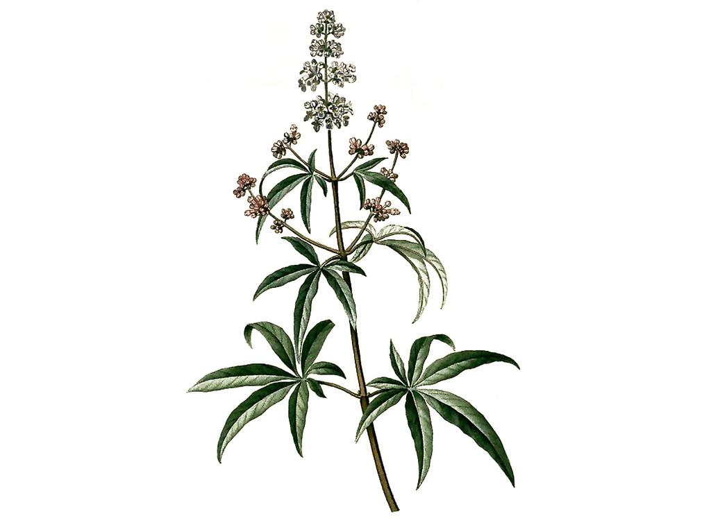 Vitex Seeds