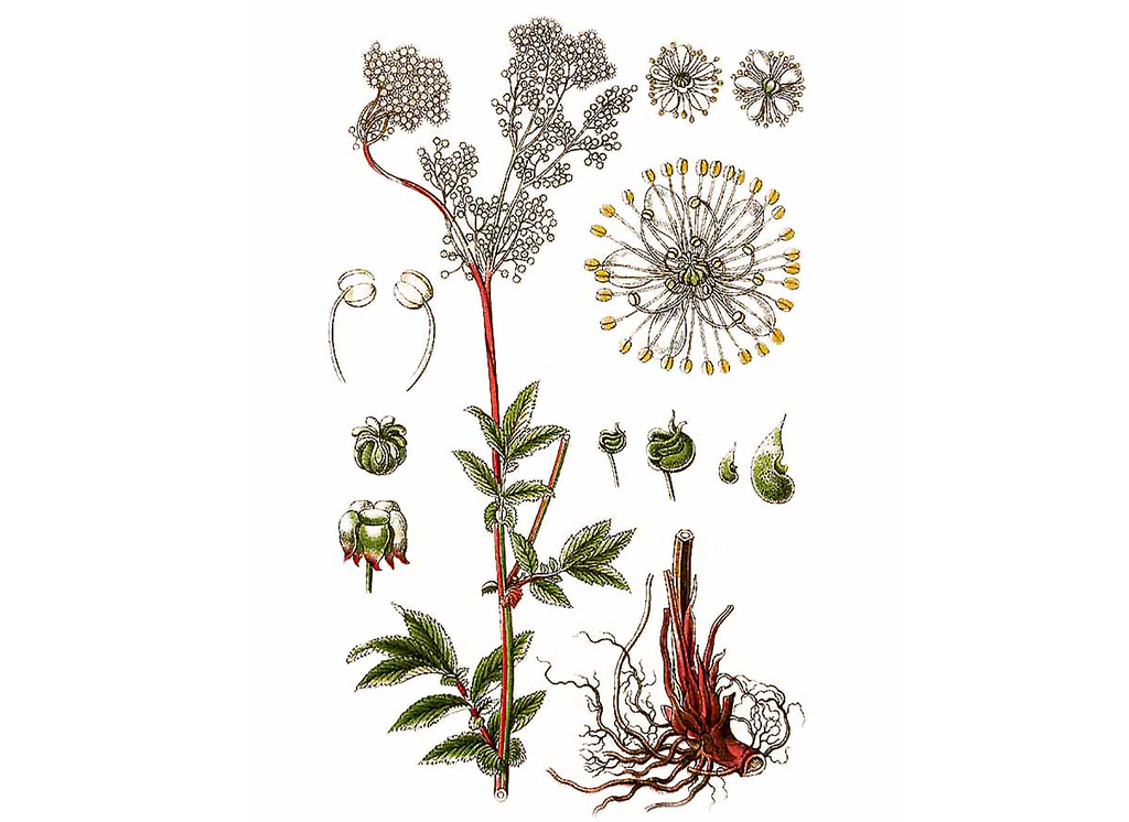 Meadowsweet Seeds