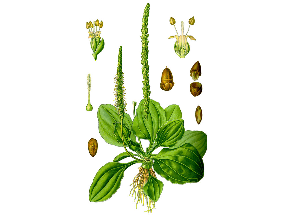 Plantain Seeds