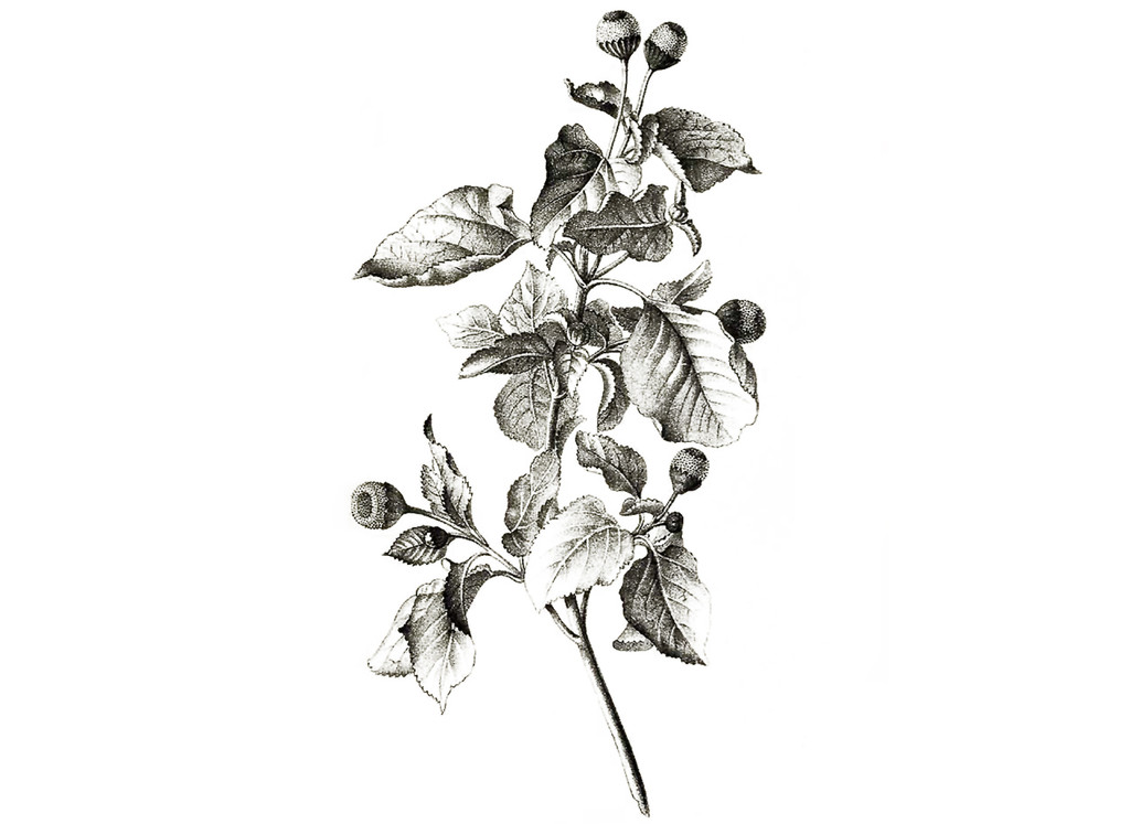 Spilanthes Seeds
