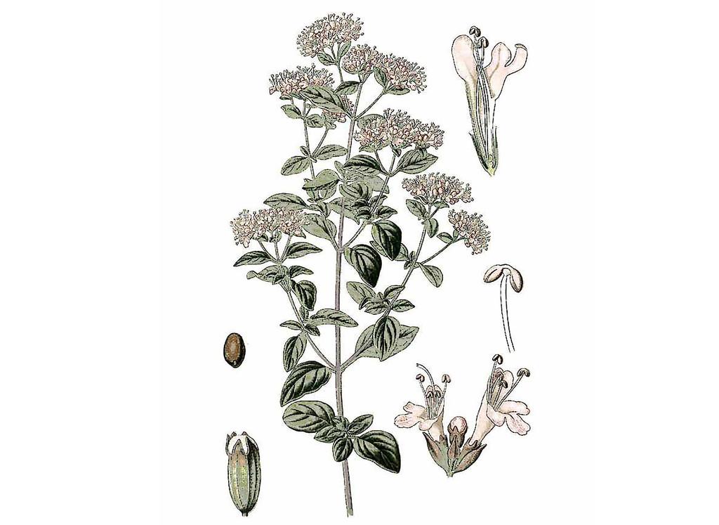 Zaatar Seeds