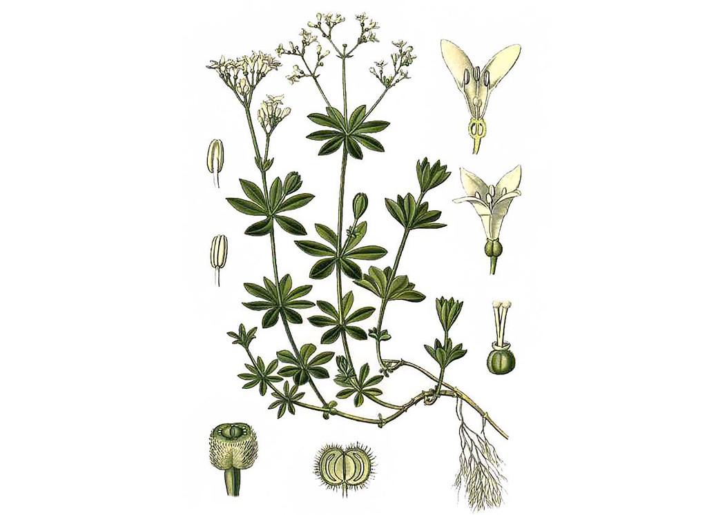 Sweet Woodruff Seeds