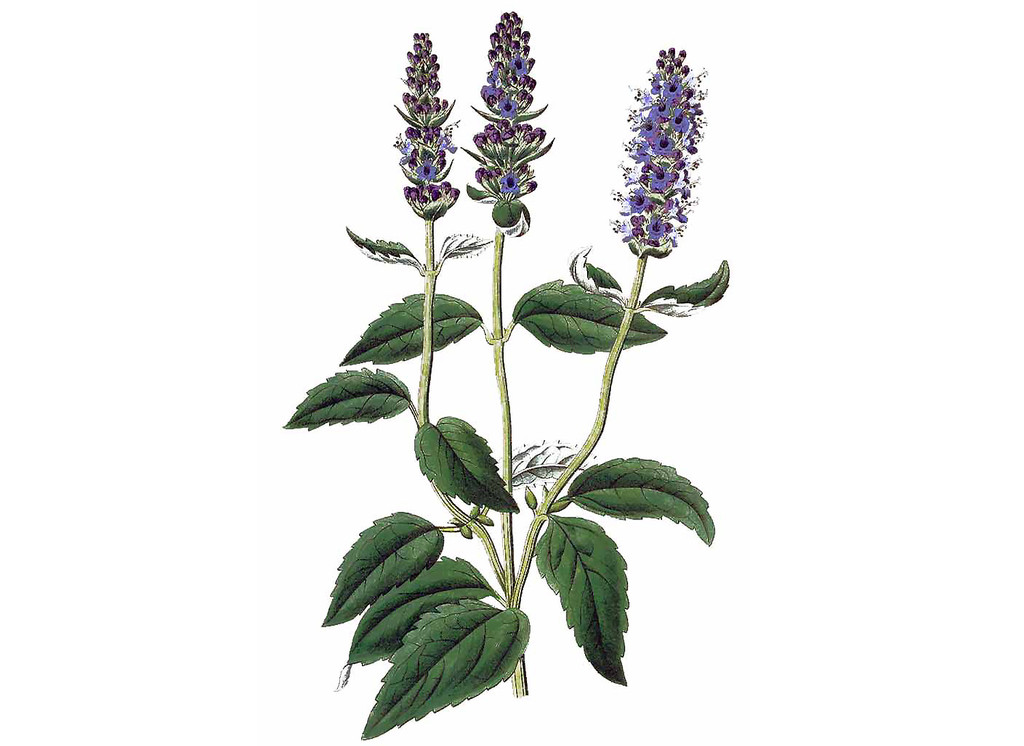 Anise Hyssop Seeds