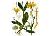 Arnica Seeds