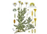 Chamomile, Roman Seeds