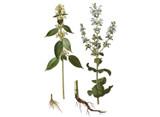 Clary Sage Seeds