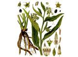 Comfrey Seeds