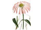 Echinacea purpurea Seeds