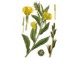 Evening Primrose Seeds