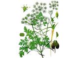 Parsley Seeds