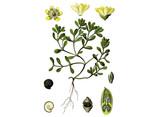 Purslane Seeds