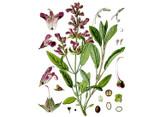 Sage, Garden Seeds