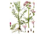 Valerian Seeds