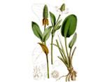 Yerba Mansa Seeds