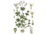 Sweet Woodruff Seeds