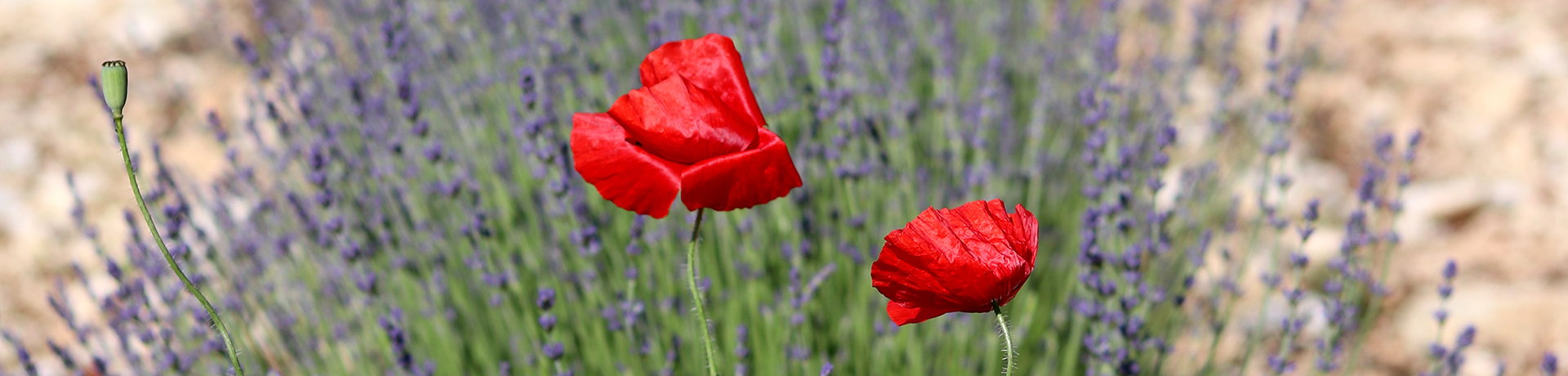 Join Our Affiliation Program - Field of Flowers with red blooms and lavender in the distance