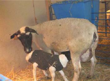 Newborn Lamb Blanket