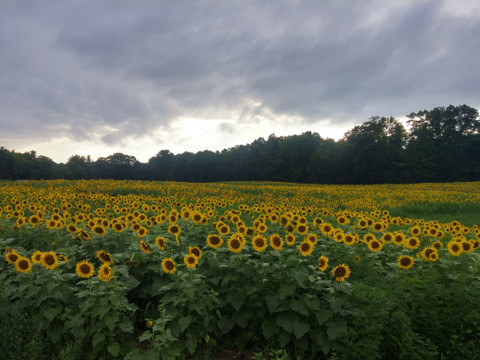 *Sunflowers