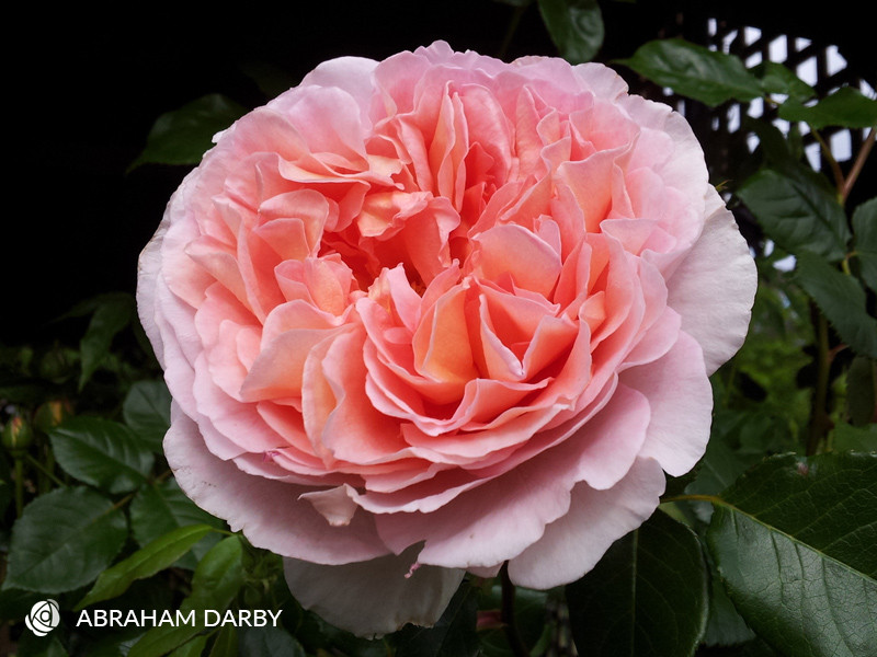 Abraham Darby David Austin Climbing Rose Most Fragrant