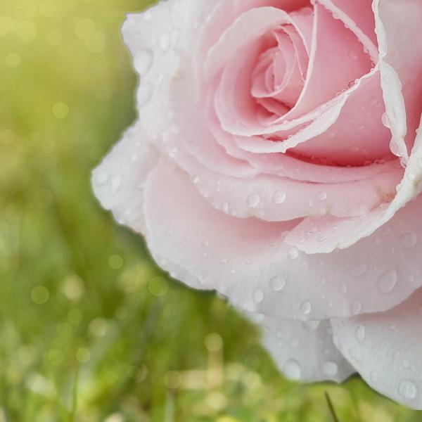 rose-encyclopedia-600x600.jpg