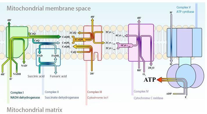 mitochondiral.jpg