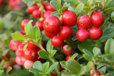 afbeelding van cranberries