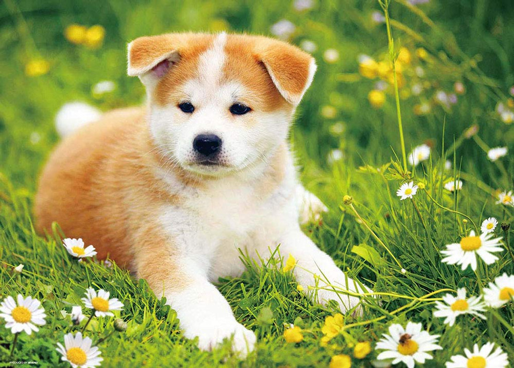 Beverly Jigsaw Puzzle P66-114 Basking in the Sun -Akita-inu- (600 Pieces)