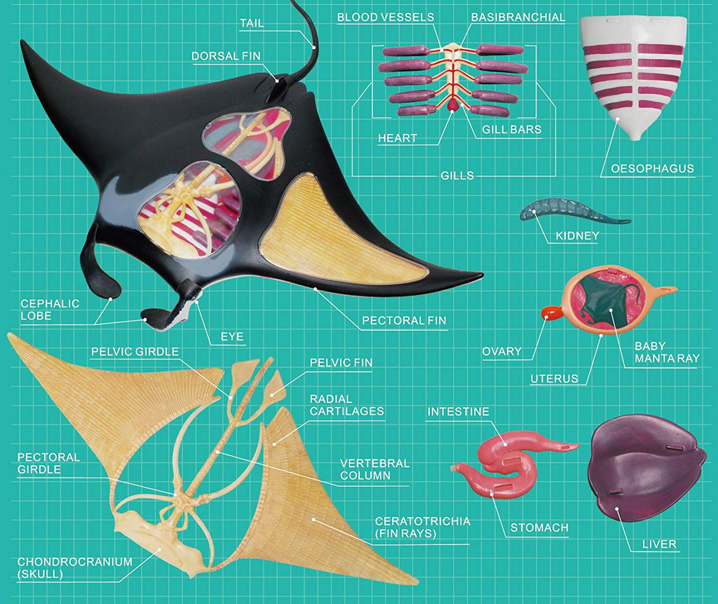 Aoshima 05481 4D Vision No.30 Manta Ray Anatomy Model Non-scale Kit