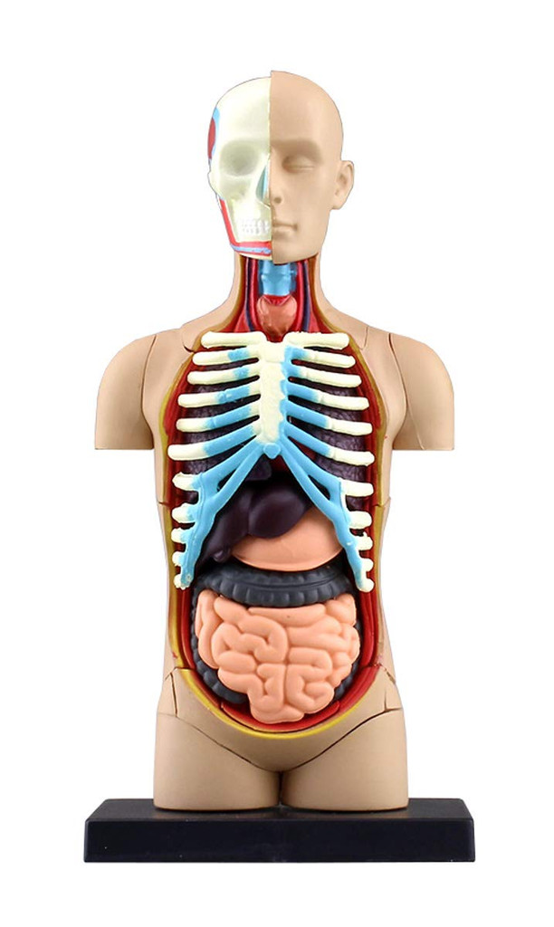Aoshima 4D Vision Human Anatomy Model No.1 Torso Non-scale Kit