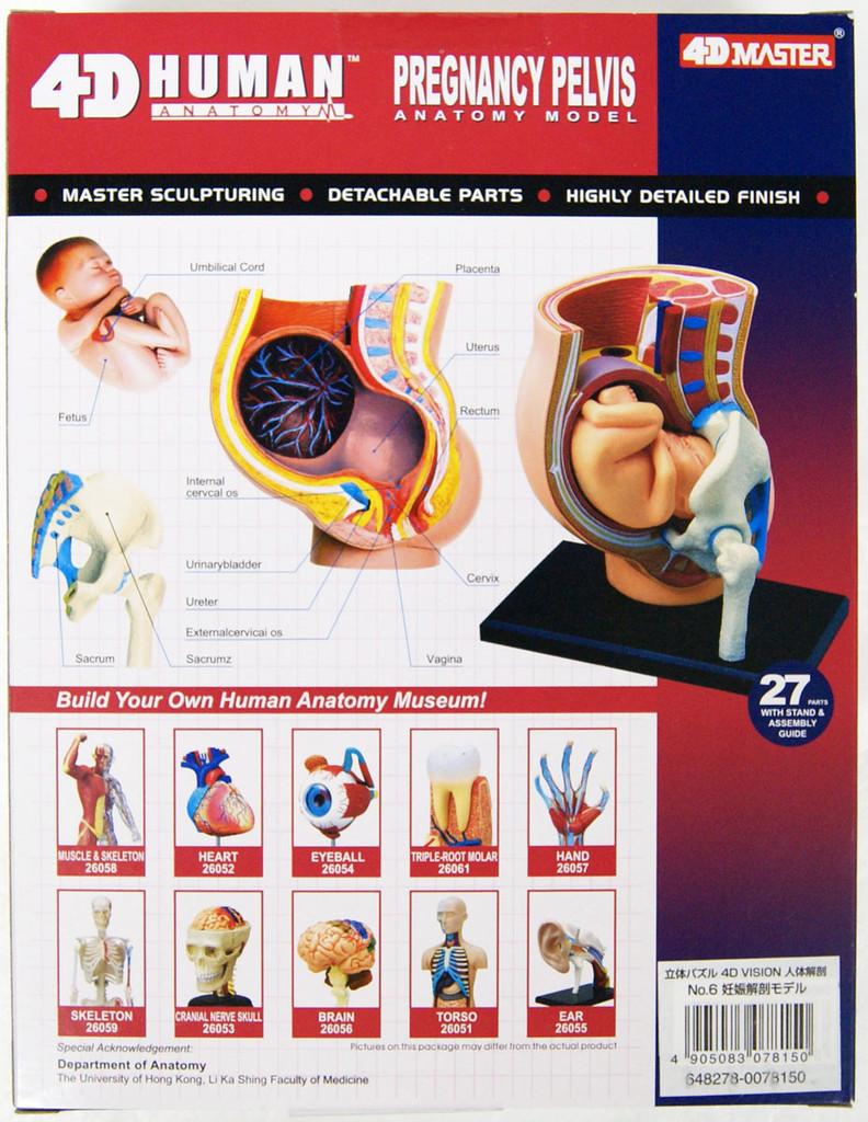 Aoshima 78150 4D Vision Human Anatomy Model No.6 Pregnancy Pelvis Non-scale Kit