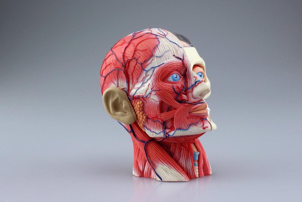 Aoshima 4D Vision Human Anatomy Model No.11 Head Non-scale Kit