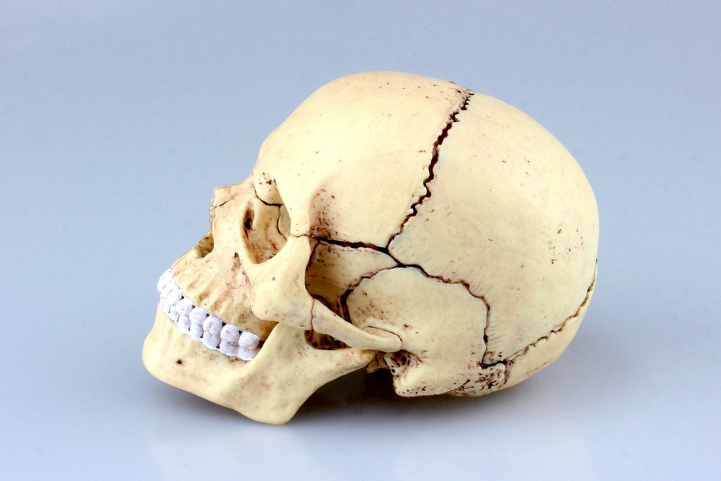 Aoshima 4D Vision Human Anatomy Model No.23 Head 1/2 Scale Kit