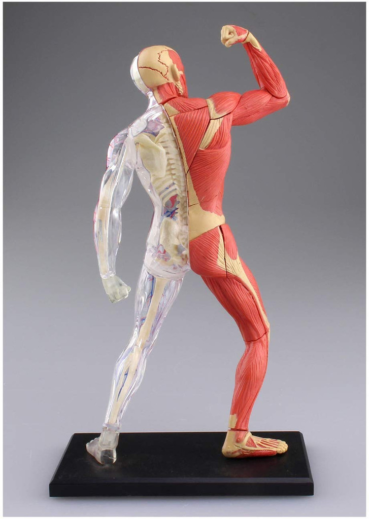 Aoshima 107140 4D Vision No.13 Human Muscles Model Non-scale Kit
