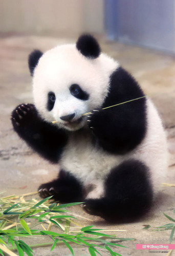 Beverly Jigsaw Puzzle L74-172 Panda Xiang Xiang (150 L-Pieces)