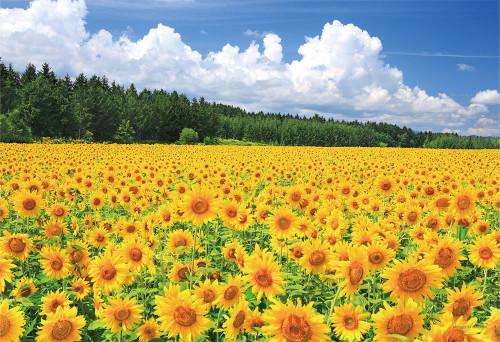 Yanoman Jigsaw Puzzle 03-872 Sunflower Zerubu Biei Hokkaido Japan (300 Pieces)