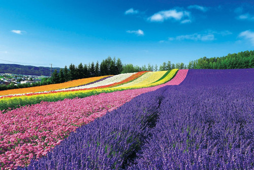 Epoch Jigsaw Puzzle 10-800 Panoramic Flower Gardens Shikisai-no-oka Hokkaido Japan (1000 Pieces)