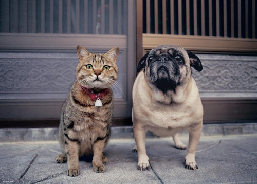 Epoch Jigsaw Puzzle 06-061 Cat and Pug (500 Pieces)