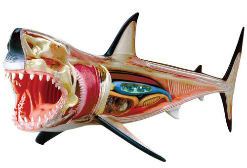 Aoshima 4D Vision No.2 Great White Shark Anatomy Model Non-scale Kit