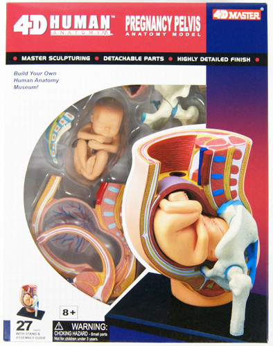 Aoshima 78150 4D Vision Human Anatomy Model No.6 Pregnancy Pelvis Non-scale Kit